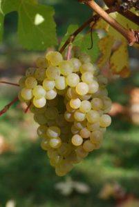 raisin_blanc